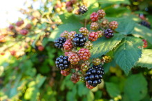 Himalayan Blackberry Stems (often Called Canes) Are Large, Thick, Arching, Star-shaped In Cross-section, And Have Big Thorns.