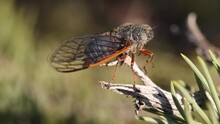 Vivid Orange And Black Cicada With Transparent Wings Twitches Slightly While Buzzing.