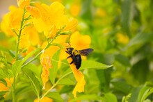 A Big Bee Is Swarming And Feeding On The Beautiful Yellow Flowers In An Agricultural Center.