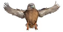 Hybrid From Mallard Duck With Eagle Head In Flight