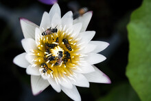 A Large Swarm Of Bees, Searching For Nectar In The Water Lilies In The Tub Around The House.