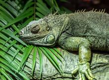 Iguana On A Tree