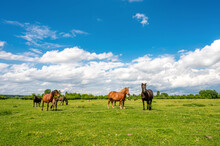 Herd Of Horses Graze On A Green Pasture Under Blue Cloudy Sky At Summer Day
