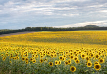 Abstract Pattern Of Repeating Sunflowers In Large Agricultural Field