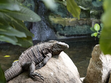 Cuban Ground Iguana, Cyclura N. Nubila, Lives Exclusively In Cuba Is Threatened By Extinction