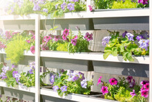 Garden Plant Nursery Store With Petunia Flowers In Pots On Metal Shelves. Purple And Pink And Blue Blooming Flowers In Sunlight Outdoors.