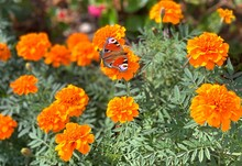 Summer Marigold Flowers With Butterfly Peacock Eye. Summer Green Meadow With Bright Orange Marigold Flowers On Sunny Day. Joy, Sun, Beautiful Flowerbed.