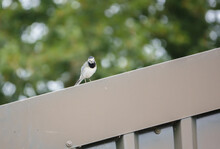 A Pied Wagtail (Motacilla Alba) Searching For Food From A Rooftop Vantage Point Wiltshire UK