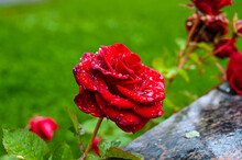 Close-up Of A Red Rose With Rain Drops On The Petals.