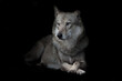 wolf sitting cross legged in night darkness, isolated black