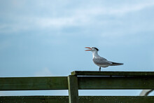 Royal Tern Perched On A Dock Railing.