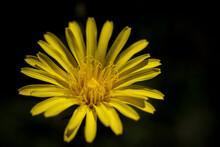 Macro Photo Of Yellow Flower On Black Background. Stock Photo.