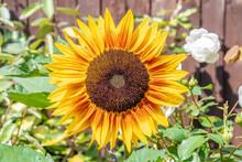 Single Large Sunflower Bloom