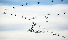 Birds In Flight. Flock Of Cranes Returning From Warm Lands In Blue Spring Sky..