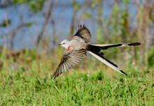 An Elegant Scissor-tailed Flycatcher In Flight