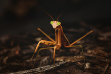 Closeup Of A Praying Mantis