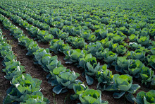 Cabbage Plant On Field In Rows , Agriculture Concept