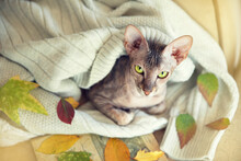 A Green-eyed Cat In A Warm Sweater Looks At The Camera, Autumn Mood