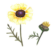 Chrysanthemum, Golden-daisy, Gerbera, Flower With Many Milky Yellow Petals And A Dark Center And A Bud. Hand Drawn Gouache Illustration.