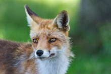 Red Fox Portrait Vos