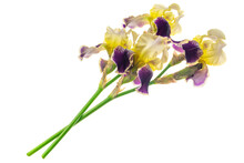 Yellow And Purple Iris Germanica On A White Isolated Background