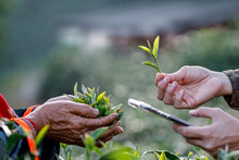 Trader Checking Quality Of Tea Leaves In Her Hand And Farmer In Green Tea Plantation And Market Price On App Smartphone Before Agreeing To Buy And Sell With Tea Farmer, Bokeh Light Background