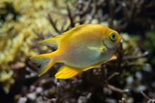 Golden Damselfish Fish Underwater In Sea