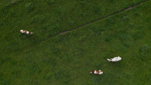 Beautiful Birds Eye Drone View Right Above A Herd Of Milk Cows Grazing In A Green Field In Holland