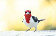 Galo De Campina, Cardeal Do Nordeste. The Northeast Cardinal Is A Passerine Bird Of The Thraupidae Family.