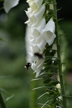 Bumble Bee And Foxglove Flower