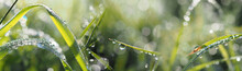 Grass With Dew Drops In The Morning - Bokeh Background
