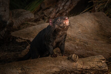 Tasmanian Devil With An Open Mouth Standing On A Log