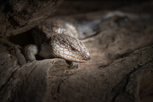 Closeup Of A Blue-tongued Lizard On A Log In The Zoo