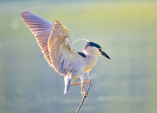 Closeup Shot Of A Black-crowned Night Heron Perched On A Branch