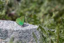 Callophrys Rubi Butterfly Poses On Flowers With Greenish Colors