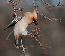 Closeup Of Bohemian Waxwing, Bombycilla Garrulus Perched On A Tree Branch Of Crabapple
