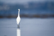 Snowy Egret In Water, Background