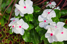 Close-up Of Multiple White Flowers With Pink Centers (Madagascar Periwinkle, Catharanthus Roseus) With Water Droplets. Coleus (Plectranthus Scutellarioides) Visible In Background.
