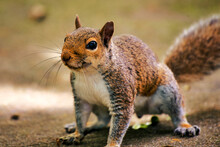 A Close Up Of A Gray Squirrel.
