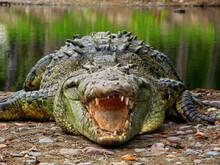Saltwater Crocodile In La Manzania, Jalisco Mexico