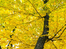 Bright Yellow Lush Foliage Of Beech Tree In Autumn Forest. View From Below Upwards.