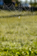 In Spider Nets, Dew Drops. A Spider Net On A Green Background.