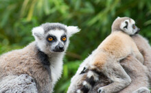 Ring Tailed Lemur And Child