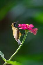 Olive Backed Sunbird On Flower