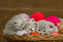 Group Of Tiny Kittens Sleep Together Inside A Basket With Clews Of Thread
