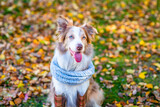 Border collie dog wearing rubber boots warm scarf sits at autumn park