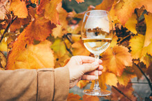 White Wine In Wineglass Near Grapevine With Red And Yellow Leaves On Vineyard At Bright Sunlight On Nice Autumn Day Closeup.