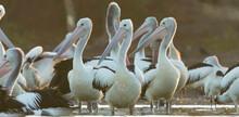 Closeup Shot Of A Group Of Australian Pelicans Outdoors