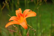 Orange Lily On A Blurred Background. Flower.