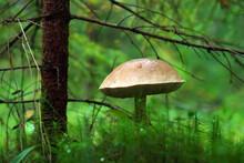 Big Boletus Mushroom Close. Mushroom Picking In The Karelian Forest In Russia.